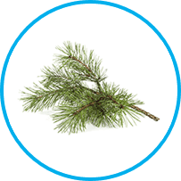scots pine leaf oil